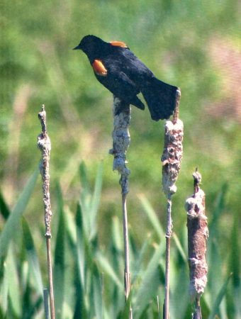 Redwinged-blackbird-photo